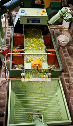 Olive-Pressing-NZ-Information