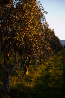 Olive-Pressing-NZ-Management