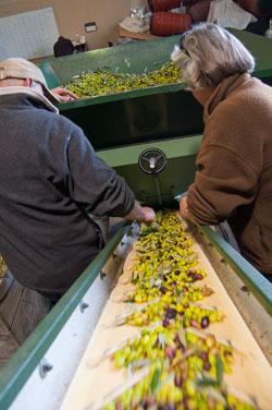 Olive Oil Pressing at The Olive Press Wairarapa